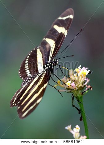 Zebra Heliconian Butterfly (Heliconius charithonia) on Lantana flowers