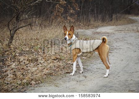 Portrait of a Basenji dog in winter clothes. Late autumn overcast sky