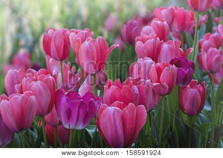 A Field  full of Beautiful Pink Tulips