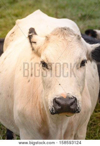 Curious and cute cow portrait posing for photographer in Georgia farm during sunset