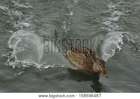 Nature, fauna, animals, birds, ducks, Mallard, Anas platyrhynchos, family Anatidae, Anatidae, waterfowl squad, Anseriformes, wild