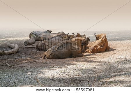 Resting Bison Group