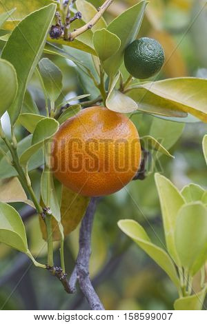 Calamondin (x Citrofortunella microcarpa). Called Calamondin orange Calamansi Calamandarin Golden lime Philippine lime Panama orange China orange Musk orange and Acid orange also. Hybrid between Citrus reticulata and Fortunella japonica
