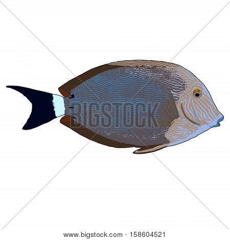 Blueline Surgeonfish Vector Illustration on white background