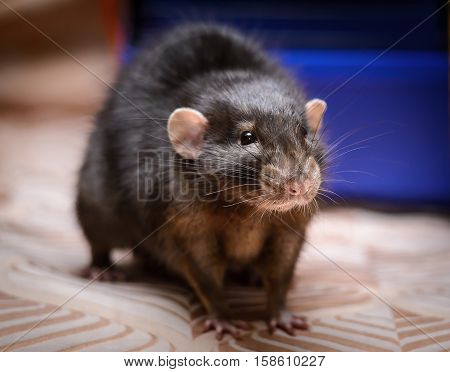 beautiful little brown home mouse on the couch