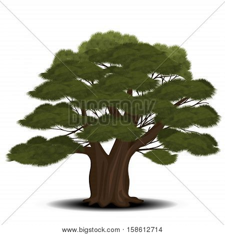 cedar tree with green needles on a white background