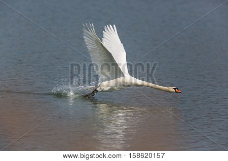 Mute swan (Cygnus olor) running on the water surface