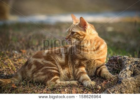 orange fur cat realxing  on garden field