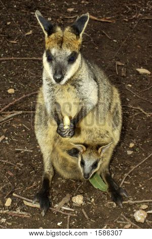 A wallaby with a Joey sticking it's head out of her pouch. poster