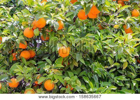 Colorful Orange tree  with oranges at Sicilian Island