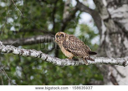 Short-eared Owl sleeping on a branch .