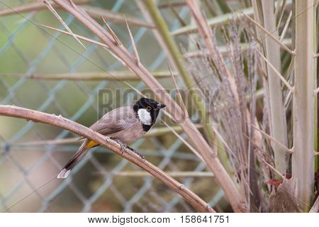 A White-eared Bulbul or Pycnonotus Leucotis perched on a dates palm tree in a garden in Bahrain