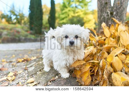 A little white Maltese dog standing next to the leaves.