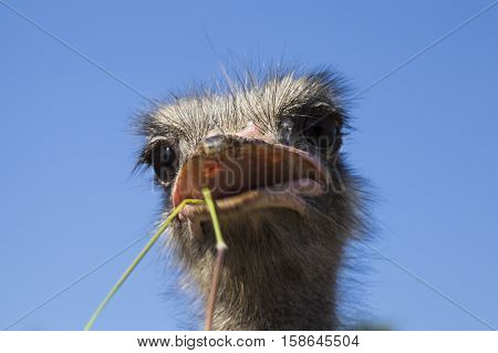 Portrait of an ostrich in sunny day, close up on head, ostrich eating