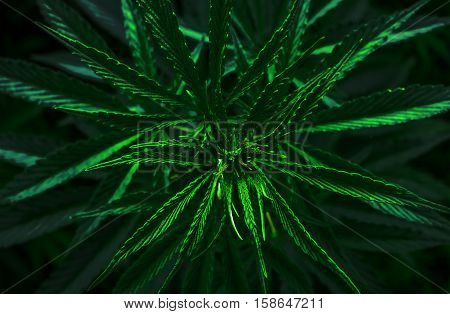 marijuana leaf clouse-up. cannabis for the background.