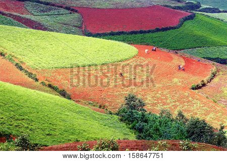 people working in colorful tea terrace fields