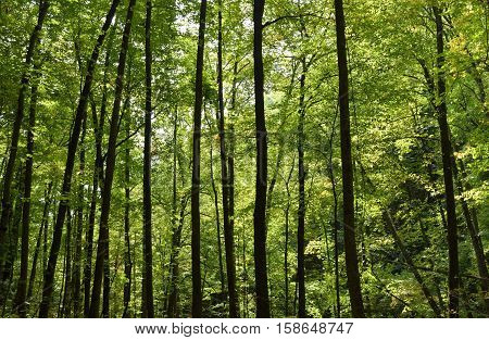 Forest trees background at North Georgia, USA.