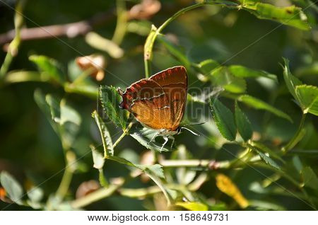 brown hairstreak (Thecla betulae) butterfly on the leaf