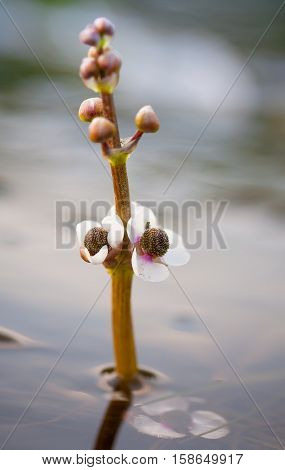 Flower of a water lily on a background of the shallow water of the river.