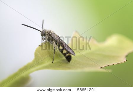 Black soldier fly sitting on a foliage, taken shot side view photography and blurred green background.