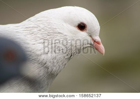 A close up of a beautiful white albino pigeon