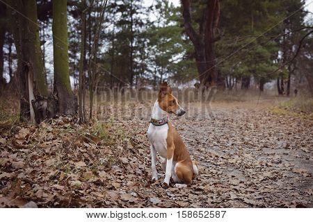 Basenji Dog Sits Waiting For The Host