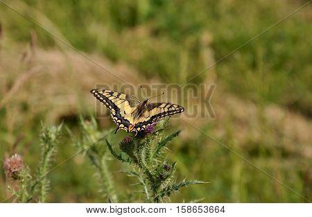 ld World swallowtail (Papilio machaon) on the flower