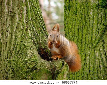 Squirrel. Squirrel living in the park Sosnovy Bor that is located on the outskirts of the city. The park is among the relict pines and oaks. There are a lot of protein. All of them are almost tame. Accept gifts from the hands of park guests. Here and now,