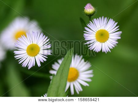 Beautuful flowers. Conyza canadensis (formerly Erigeron canadensis L.)