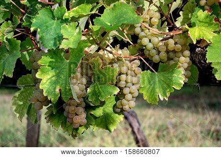 Ripe white grapes on the vine ready to be harvested