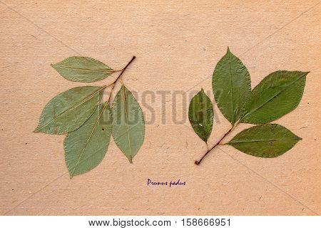 Herbarium from pressed and dried leaf of Mayday tree on antique brown craft paper with Latin subscript Рrunus padus.
