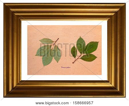 Herbarium from pressed and dried leaf of Mayday tree with Latin subscript (Рrunus padus) in the frame on white background.