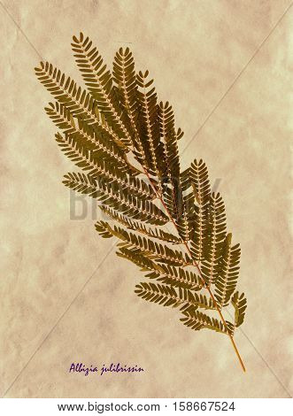 Herbarium from pressed and dried leaf of Persian silk tree on antique brown craft paper with Latin subscript Albizia julibrissin.
