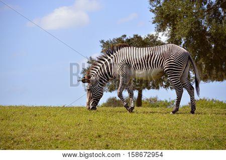Burchell's zebra Latin name Equus quagga burchellii