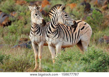 Two plains (Burchells) zebras (Equus burchelli) in natural habitat, South Africa