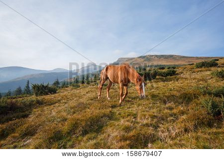 Red horse grazing in the meadow on a background of mountains. Carpathians