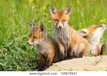 beautiful european red fox cubs near the burrow ( Vulpes )