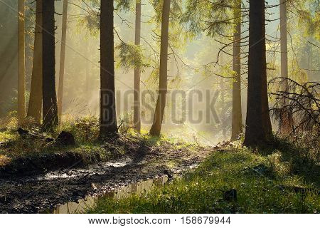 beautiful morning light in spruce forest rays through the mist