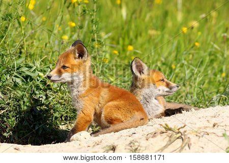 two cute red fox cubs ( Vulpes vulpes )