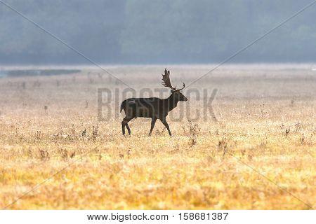 fallow deer buck walking on field image taken in the morning mist ( Dama )