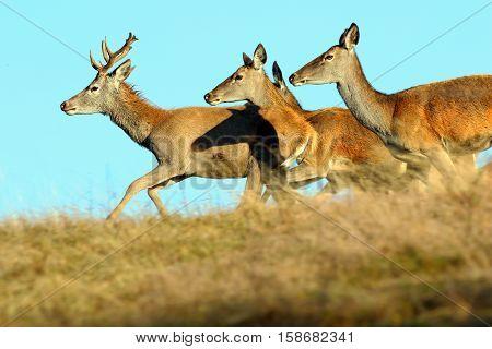 group of running red deers on mountain meadow ( Cervus elaphus )