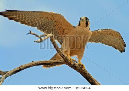 Lanner Falcon Female 1