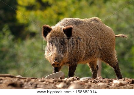 large curious wild boar coming towards the camera ( Sus scrofa )