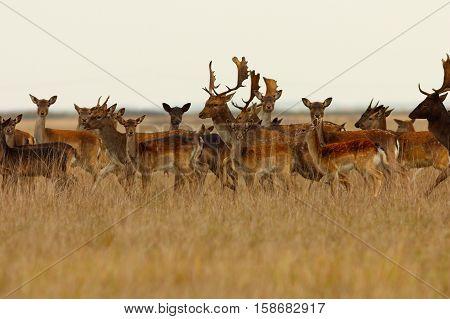 large herd of fallow deers ( Dama dama )