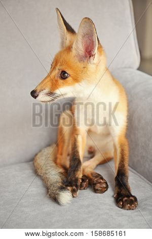 Cute fox cub sitting on sofa in room