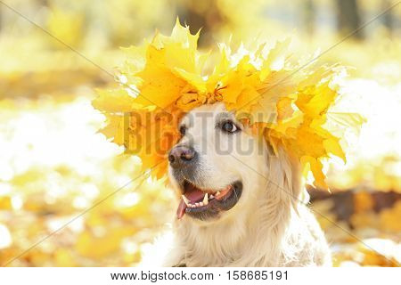 Funny labrador retriever with chaplet made of yellow leaves, close up view