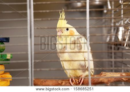 Beautiful corella parrot sitting on perch in cage, close up view