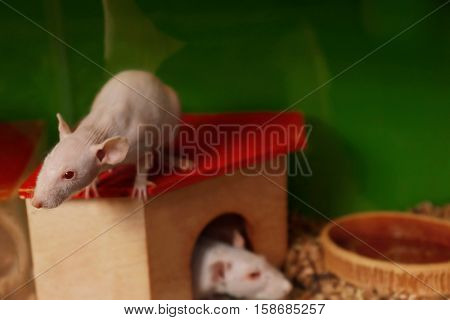 Decorative hairless rats in their cage, close up view