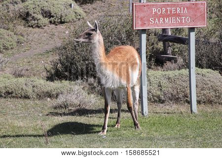 Guanaco at the Porteria Sarmiento entrance to Chile's Torres del Paine National Park