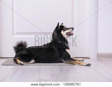 Cute little Shiba Inu dog lying on doormat at home